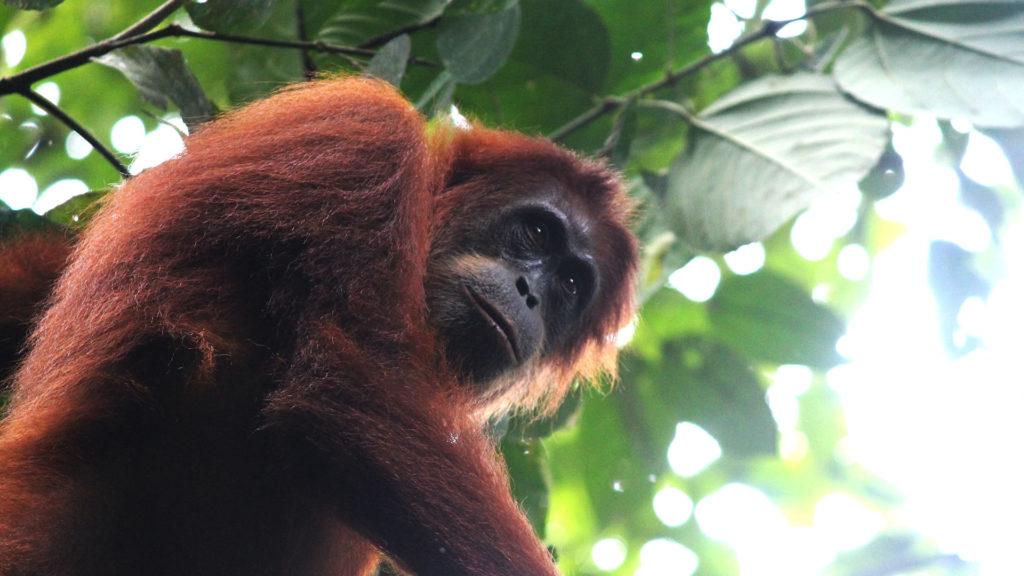 close up Orang Oetan vrouwtje - Ketambe - Sumatra
